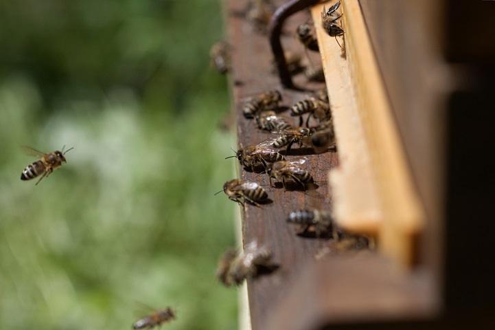 Beč je europska prijestolnica pčela