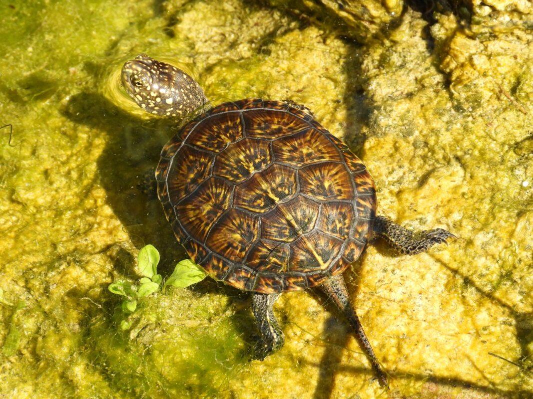 Veličanstveni Skradinski buk ponovno je dom barskoj kornjači